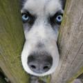 Bild einer eines angriffslustigen Hundes.